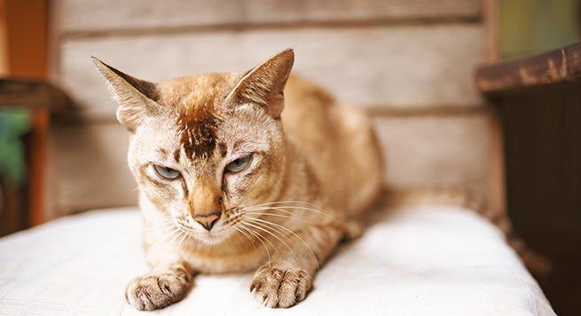 Den ældre kats sygdomme
