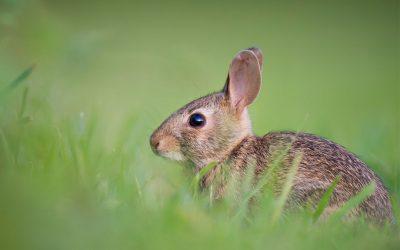 Kvalitets hø er vigtigt for din kanin